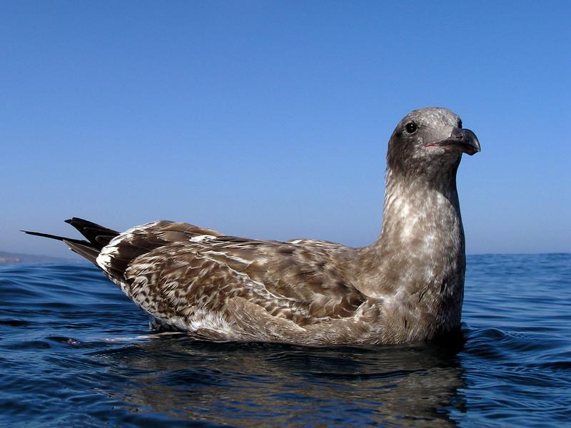 Seagull, juvenile<br /> La Jolla Shores, California USA