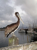 Pelican<br /> Morro Bay, California