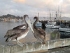 Pelicans<br /> Morro Bay, California