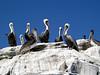 Pelicans on Henrock<br /> Catalina Island, Calfornia USA