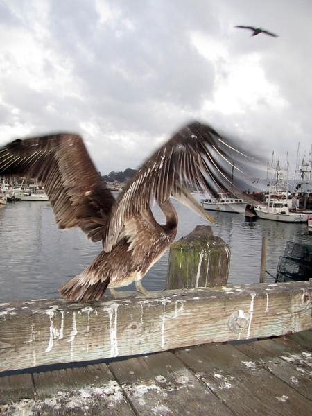 Pelican taking off<br /> Morro Bay, California