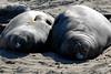 Northern Elephant Seal, Mirounga angustirostris, lounging females