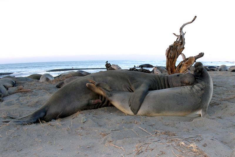 Northern Elephant Seal, Mirounga angustirostris<br /> Mating pair