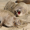 Northern Elephant Seal, Mirounga angustirostris<br /> Flippers are used to throw sand on back, for a cooling effect.
