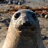 Northern Elephant Seal, Mirounga angustirostris.  The large eyes, arrayed with special photo cells have evolved to help these animals become effective hunters in low-light conditions.  Elephant seals belong to the family Phocidae, true seals which have no external ears