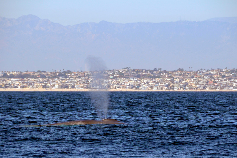 Fin Whale spouting<br /> Off shore, Los Angeles County<br /> ID thanks to Laurie Hinckley