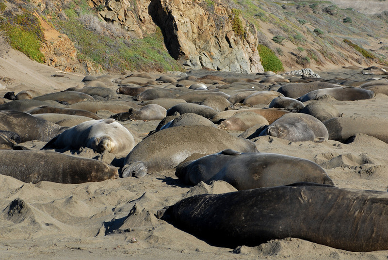Northern Elephant Seal, Mirounga angustirostris<br /> Their diet consists of a variety of fish and cephalopods. Feeding begins at depths of around 700 feet, although they have been recorded at depths of over 2000 feet.  A typical dive lasts 20-30 minutes, but seals have been known to spend well over an hour underwater, surfacing for only 2-4 minutes, to dive again.