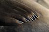 "Northern Elephant Seal, Mirounga angustirostris, close up of ""hand"""