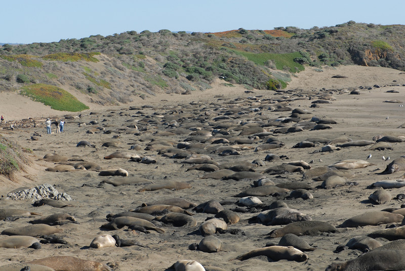The Northern Elephant Seal was nearly hunted to extinction for their blubber, which was processed into oil.  Now they are a protected species and making a strong comeback.