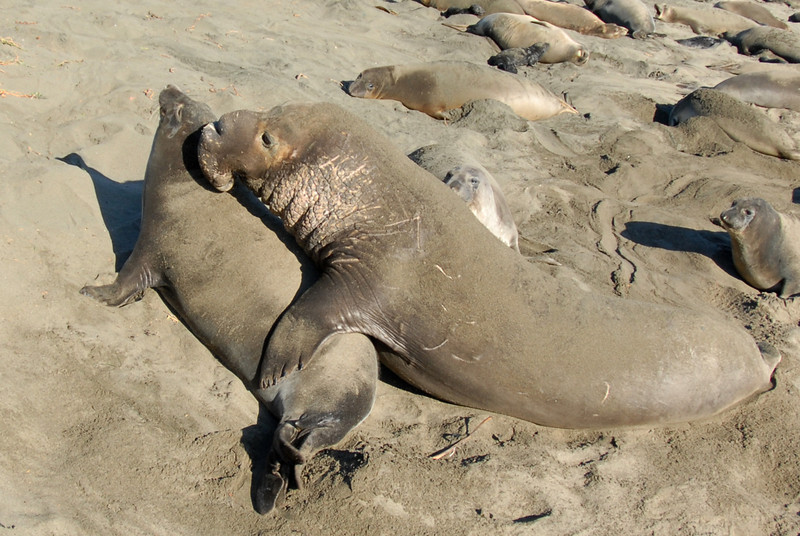 Northern Elephant Seal, Mirounga angustirostris<br /> Mating