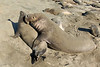 Northern Elephant Seal, Mirounga angustirostris<br /> Mating