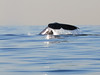 Whale<br /> Long Point, Palos Verdes, California