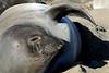 Northern Elephant Seal, Mirounga angustirostris<br /> Young female.