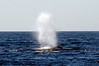Fin Whale spout<br /> Offshore, LA County<br /> ID thanks to Laurie Hinckley