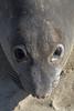 Northern Elephant Seal, Mirounga angustirostris<br /> Female face