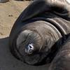 Northern Elephant Seal, Mirounga angustirostris