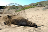Northern Elephant Seal, Mirounga angustirostris<br /> Napping Bull, flipping sand to cool down