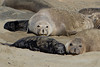 Northern Elephant Seal, Mirounga angustirostris<br /> Nursing pups