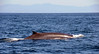 Fin Whale<br /> Offshore, LA County<br /> ID thanks to Laurie Hinckley
