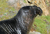 Northern Elephant Seal, Mirounga angustirostris<br /> Bull with neck injuries from fighting other bulls