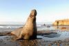Northern Elephant Seal, Mirounga angustirostris.<br /> Bulls make strange sounds, often deep-throated, low frequency sputterings, but loud like those of a single piston diesel engine.