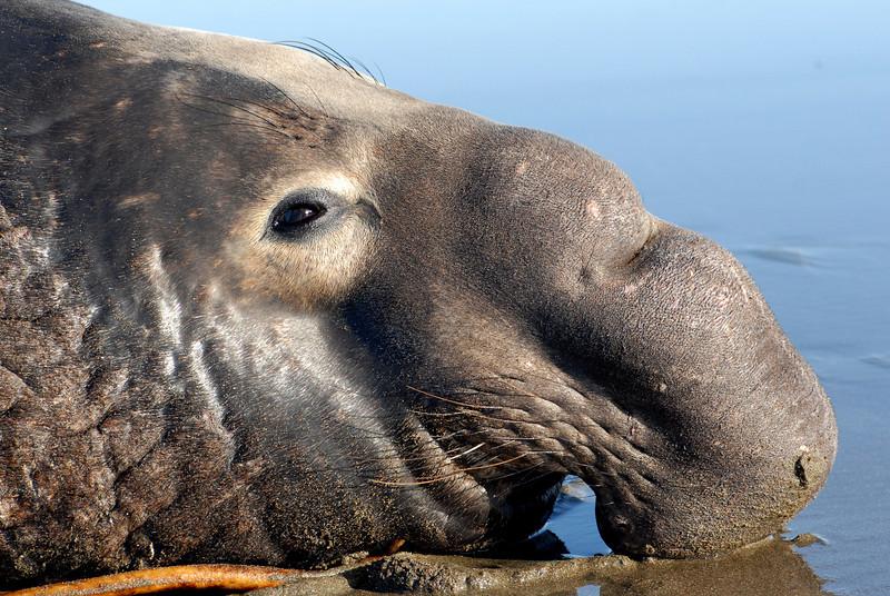 Northern Elephant Seal, Mirounga angustirostris, bull
