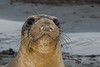 Northern Elephant Seal, Mirounga angustirostris<br /> Young elephant seal, weaned and soon ready for the ocean