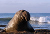 Northern Elephant Seal, Mirounga angustirostris, bull