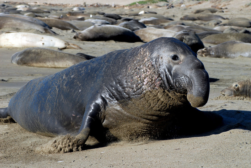 Northern Elephant Seal, Mirounga angustirostris<br /> Bulls are highly territorial and often engage in fearsome battles for mating rights
