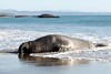 Northern Elephant Seal, Mirounga angustirostris<br /> Bull with bloody injuries