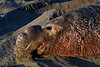 Northern Elephant Seal, Mirounga angustirostris<br /> Old crusty bull enjoying last rays of the day's sun
