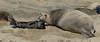 Northern Elephant Seal, Mirounga angustirostris<br /> Newborn pup with mother