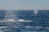 Whales spouting<br /> Offshore, LA County