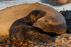 Northern Elephant Seal, Mirounga angustirostris<br /> Mother and pup