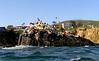Sea Lions, Cormorants & Pelicans<br /> Seal Rock, Crescent Bay, Laguna Beach, California