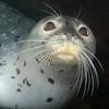 Harbor Seal, Phoca vitulina<br /> The Pinnacles, Palos Verdes, California