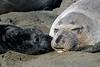 Northern Elephant Seal, Mirounga angustirostris, mother and child.