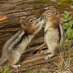 Chipmunks in Marble Canyon