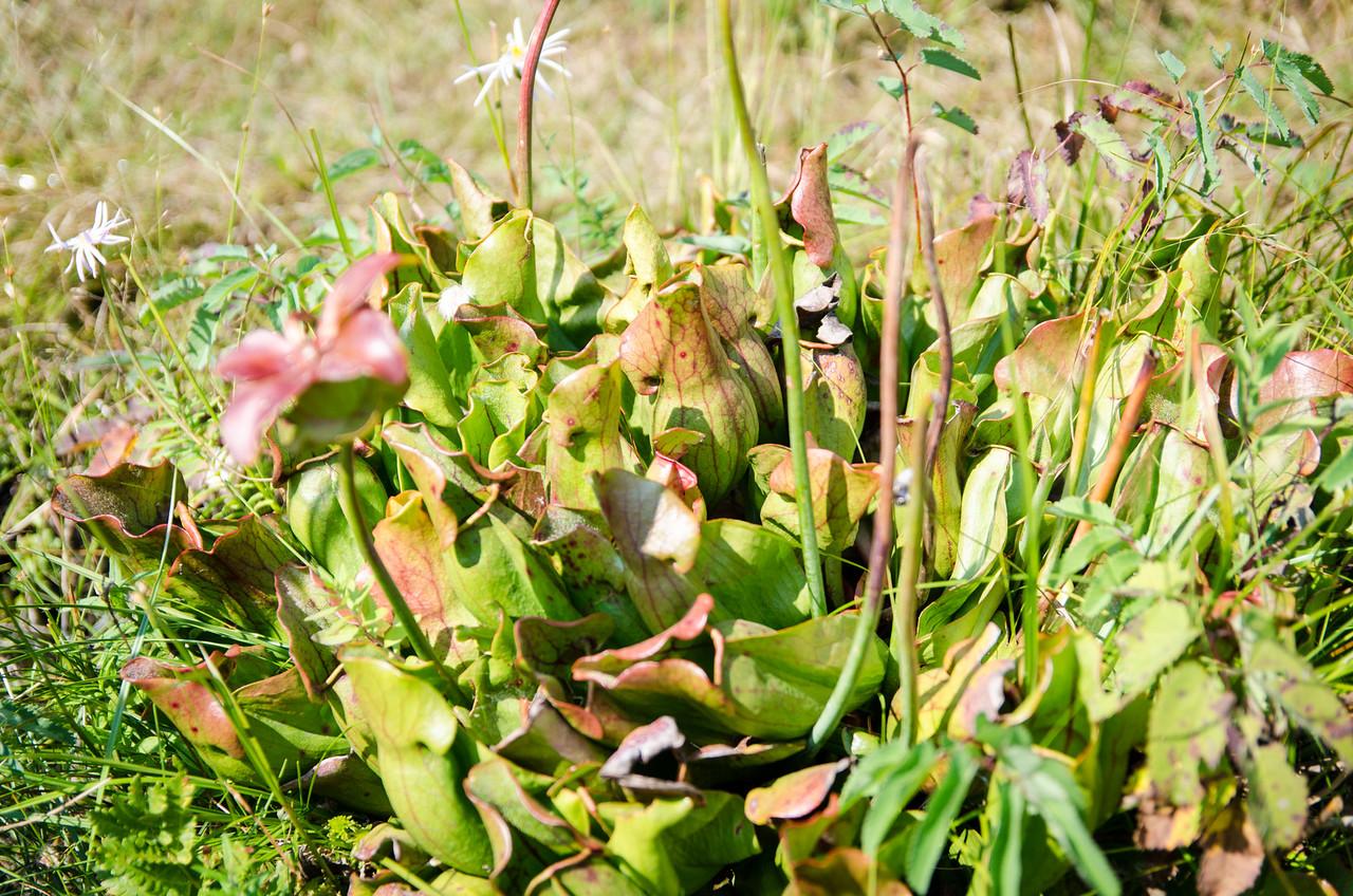 A wild pitcher plant.