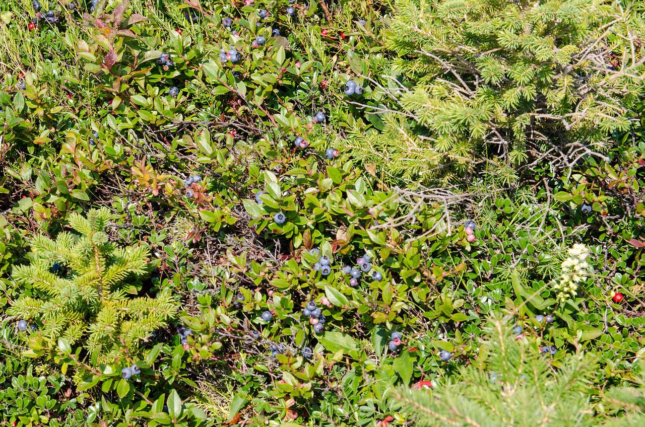Wild blueberries everywhere!
