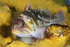 Sebastes caurinus, Copper rockfish<br /> ID thanks to Gregory Jensen
