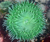 Anthopleura xanthogrammica, Green Surf Anemone<br /> ID thanks to Gregory Jensen