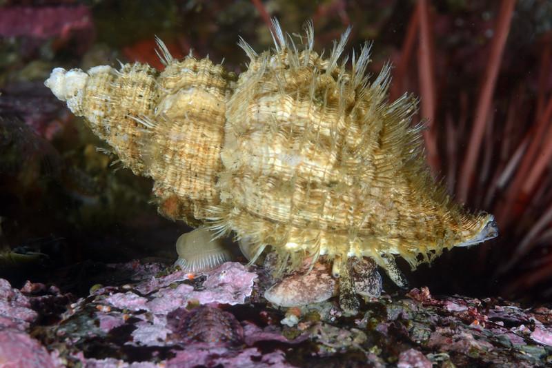Fusitriton oregonensis, Oregon Triton<br /> ID thanks to Gregory Jensen