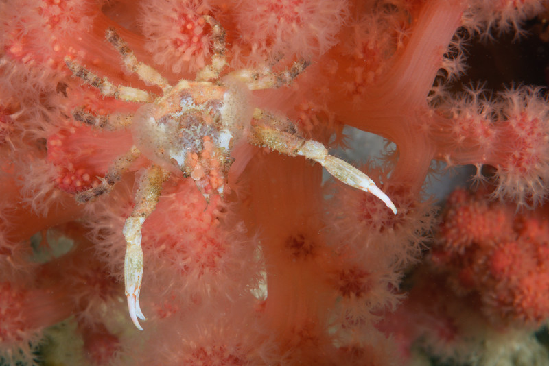 Crab: Scyra acutifrons, Sharpnose Crab<br /> ID thanks to Gregory Jensen