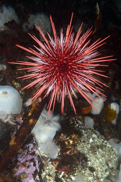 Mesocentrotus franciscanus, Red Sea Urchin