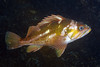 Sebastes caurinus, Copper Rockfish<br /> ID thanks to David Behrens