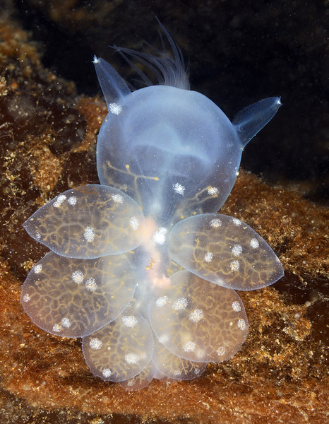 Melibe leonina, Hooded/Lion Nudibranch, with spotted cerata