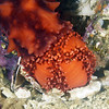 Cucmaria miniata, lower animal; Sea cucumber upper animal. <br /> ID thanks to Gregory Jensen