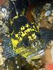 Sebastes nebulosus, China Rockfish