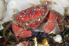 Crab: Cancer oregonensis, Pygmy Rock Crab<br /> ID thanks to Gregory Jensen